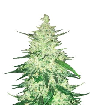 CBD 1:1  Auto (formerly Crack CBD Auto)