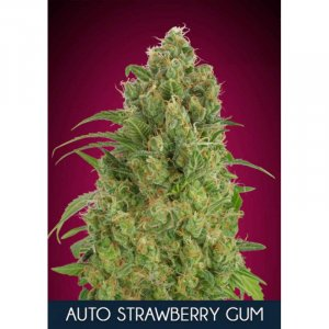 Strawberry Gum Auto