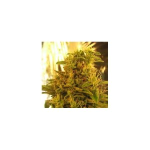 Amnesia Haze - 5 (formerly Haze #1)
